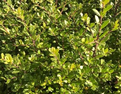 Ilex crenata 'Dark Green' - Japanse hulst