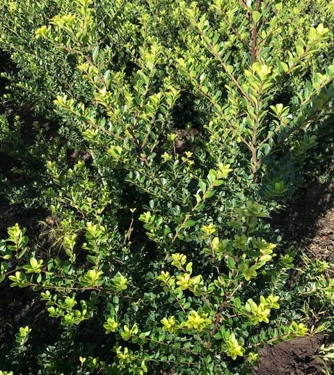 Ilex crenata 'Green Hedge' - Japanse hulst