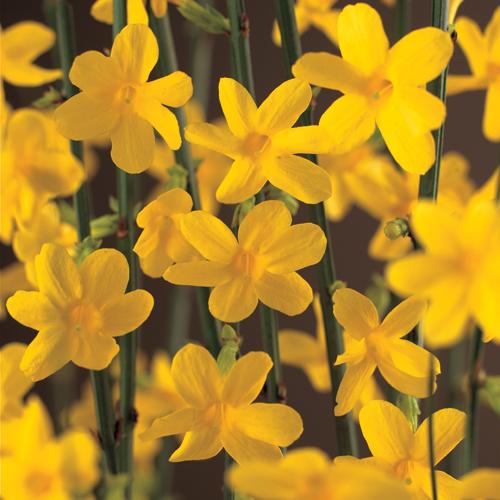 Jasminum nudiflorum - winterjasmijn