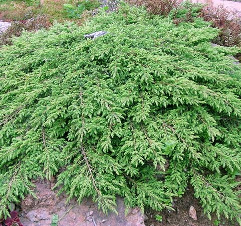 Juniperus communis 'Green Carpet' - jeneverbes