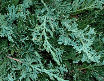 Juniperus horizontalis 'Wiltonii' - jeneverbes