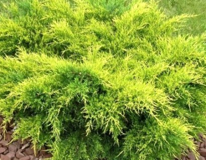 Juniperus media 'Old Gold' - jeneverbes