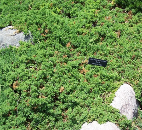 Juniperus procumbens 'Nana' - jeneverbes