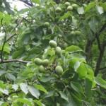 Waarom kiezen voor een veredelde walnoot of notenboom?