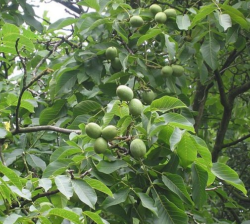 Juglans 'Broadview' - walnoot, okkernoot