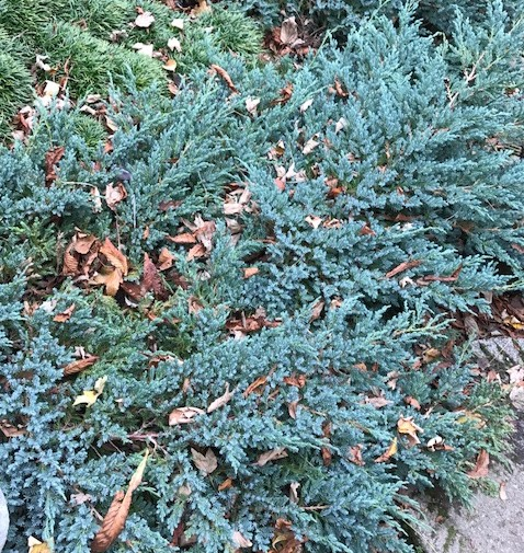 Juniperus squamata 'Blue Carpet' - jeneverbes