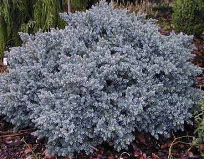 Juniperus squamata 'Blue Star' pot 3 liter - jeneverbes
