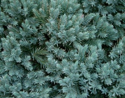Juniperus squamata 'Blue Star' - jeneverbes