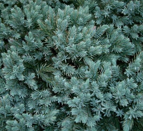 Juniperus squamata 'Blue Star' - jeneverbes