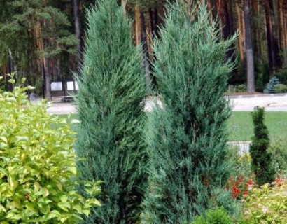 Juniperus virginiana 'Blue Arrow' - jeneverbes
