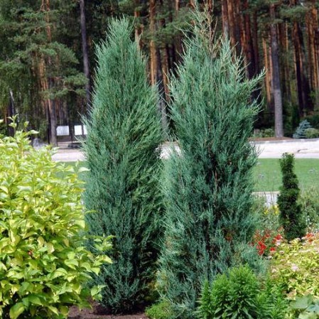 Juniperus sq. 'Blue Arrow' pot 22 liter 2 meter