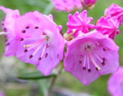 Kalmia polifolia - lepelstruik