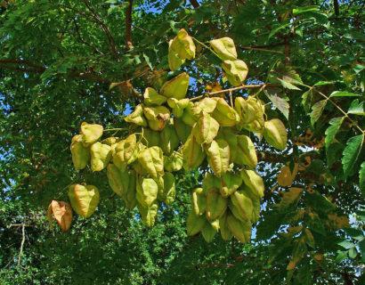 Koelreuteria paniculata - zeepboom