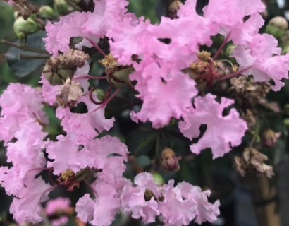 Lagerstroemia indica 'Rhapsody' op stam - lagerstroemia