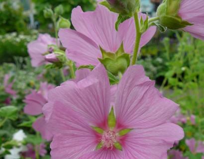 Lavatera olbia 'Rosea' (grote pot) - struikmalva