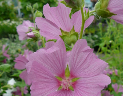 Lavatera olbia 'Rosea' pot 2 liter - herfstanemoon
