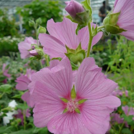 Lavatera olbia 'Rosea' (grote pot) -