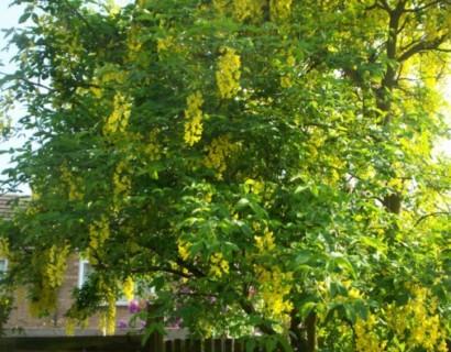 Laburnum watereri 'Vossii' - gouden regen