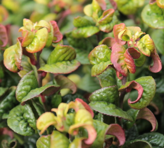 Leucothoë axillaris 'Curly Red' - druifheide