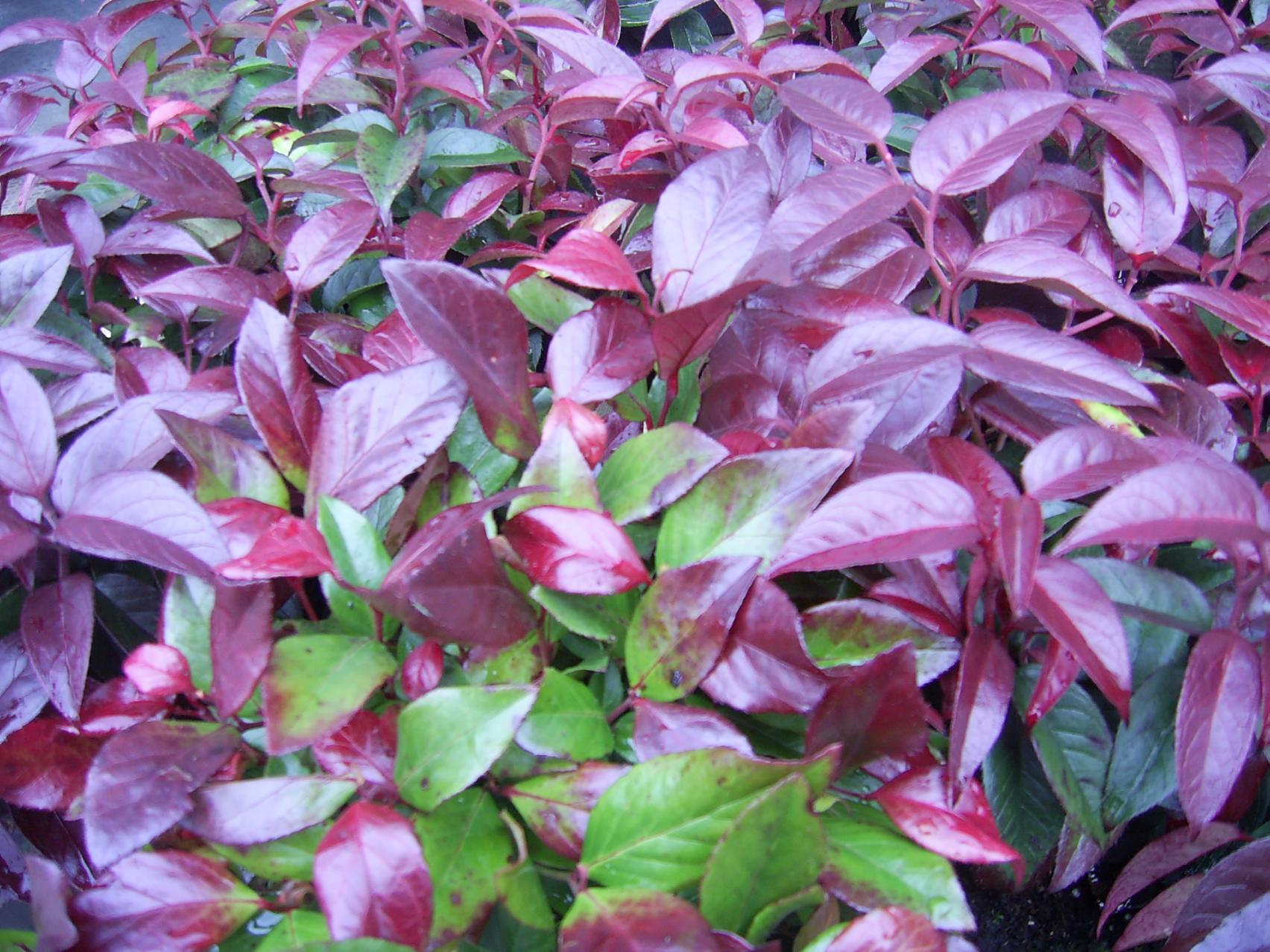 Leucothoë 'Lovita groenblijvende plant in de winter