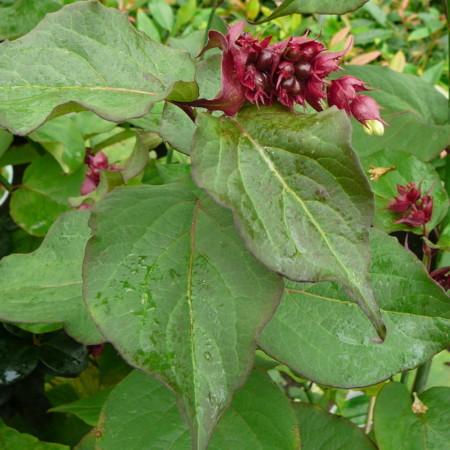 Leycesteria formosa - fazantenbes, caramelbes