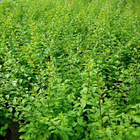 Ligustrum ovalifolium 'Lemon and Lime' - gele liguster