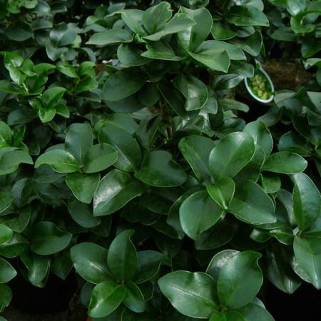 Ligustrum japonicum 'Rotundifolium' - liguster