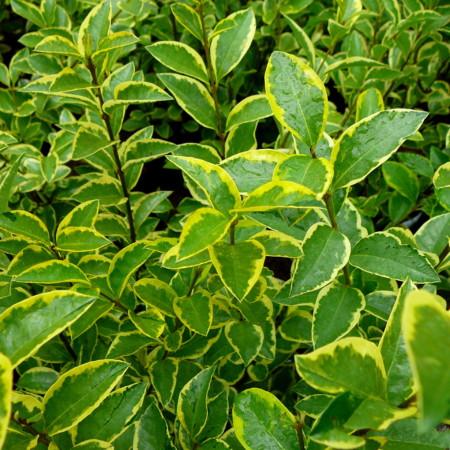 Ligustrum ovalifolium 'Aureum' - geelbonte liguster