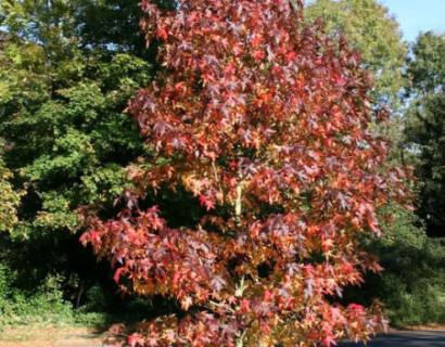 Liquidambar styraciflua 'Worplesdon' - amberboom