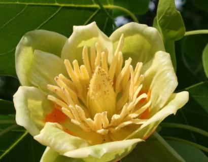 Liriodendron tulipifera - tulpenboom