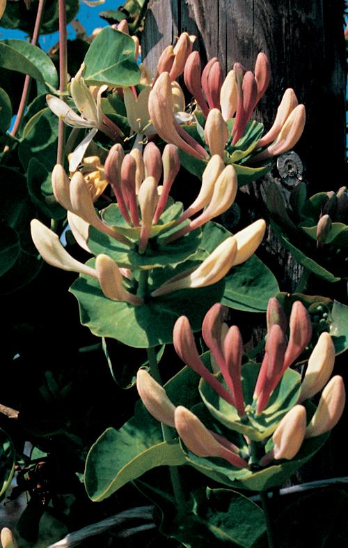 Lonicera caprifolium - kamperfoelie