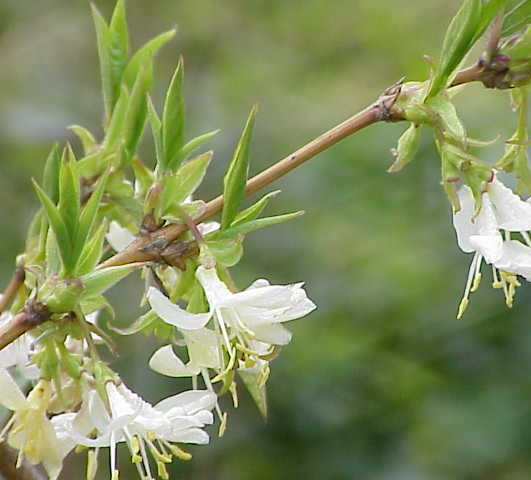 Lonicera fragrantissima - kamperfoelie