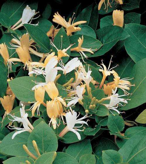 Lonicera japonica 'Hall's Profilic' - kamperfoelie