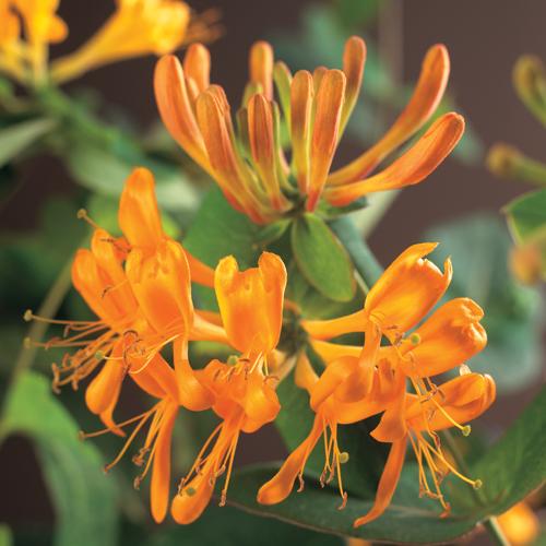 Lonicera tellmanniana - kamperfoelie