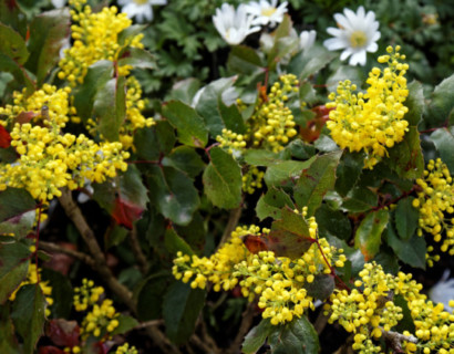Mahonia aquifolium 'Apollo' - mahoniestruik, druifstruik