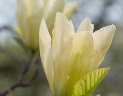 Magnolia brooklyensis 'Elizabeth' - beverboom
