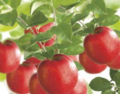 Fruitbomen kopen en daarna planten voor uw eigen fruitboomkwekerij.