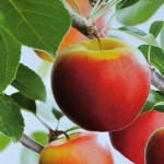 Een appeltje plukken van mijn eigen appelboom. Grote keuze appelbomen!