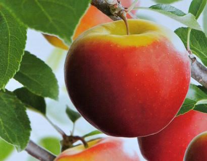 Appelboom 'Elstar' pot hoogstam voorgeleid - appel