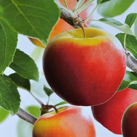 Malus domestica 'Elstar' voorgeleid - appel