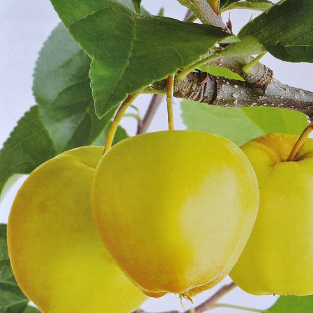 Malus domestica 'Golden Delicious' - appel