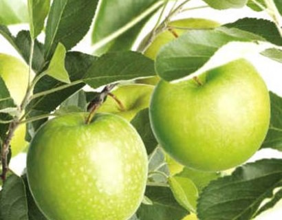 Malus domestica 'Granny Smith' - appel