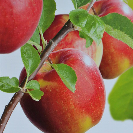 Malus domestica 'Jonagold' of 'Rode Jonagold' - appel