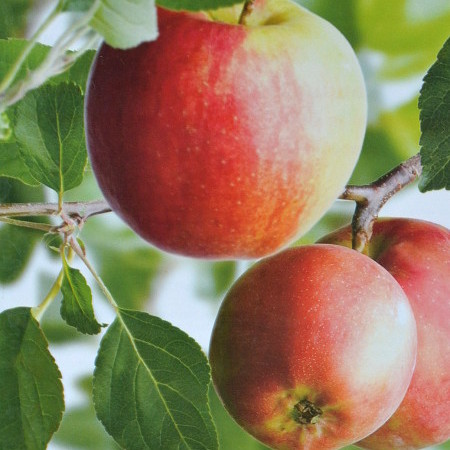 Malus domestica 'James Grieve' - appel