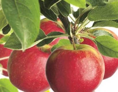 Malus domestica 'Jonathan' - appel, oud appelras