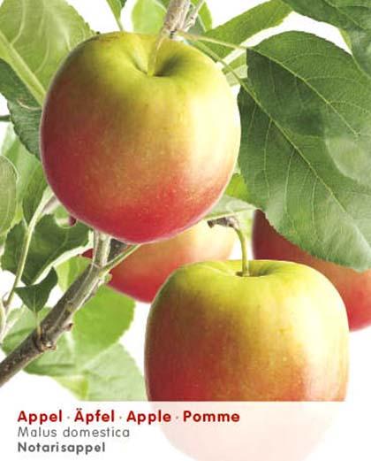 Malus domestica 'Notarisappel' - appel, oud appelras