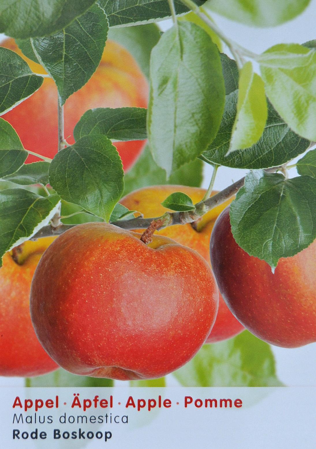 Malus domestica 'Rode Boskoop' - appel