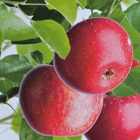 Malus domestica 'Sterrenet' = sterappel - sterappel, oud appelras