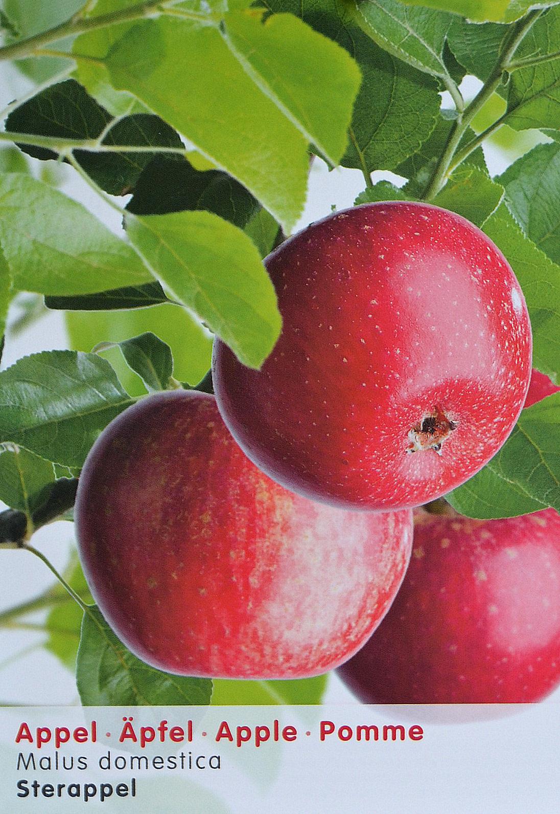 Malus 'Sterappel' fruitboom