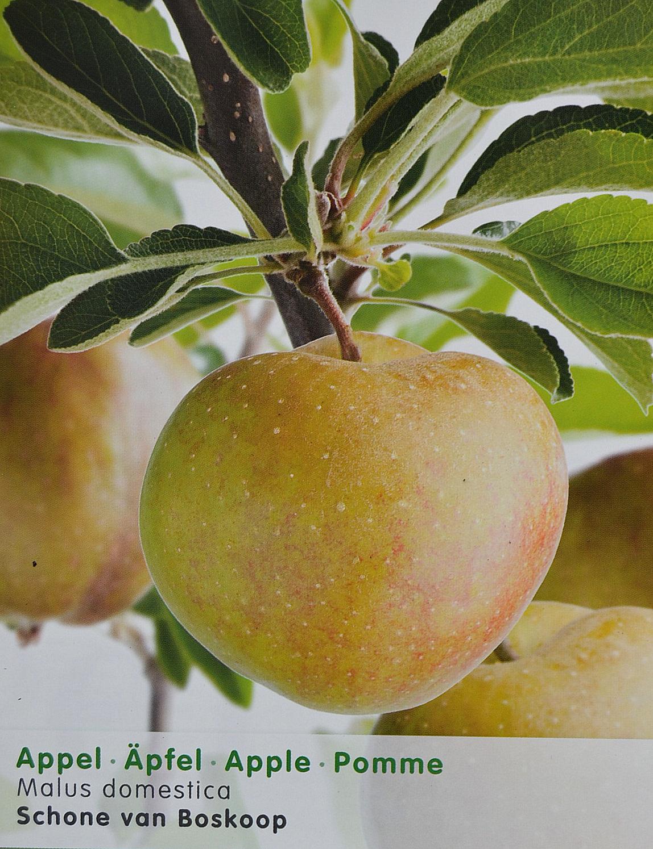 Malus domestica 'Schone van Boskoop' = 'Goudreinet' - appel
